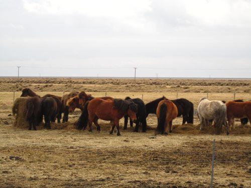 Icelandic horses were in abundance